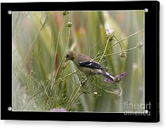 Lunch Is Ready Acrylic Print by Cris Hayes