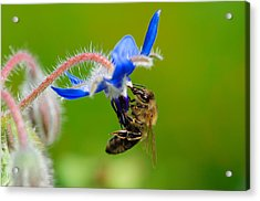 Lunch Time Acrylic Print by Kitty Bern