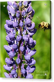 Lupine And Bee Acrylic Print by Christine Stack