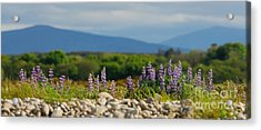Lupins On A Shingle Beach Acrylic Print by John Kelly