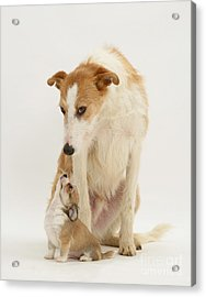 Lurcher And Chihuahua Acrylic Print by Jane Burton