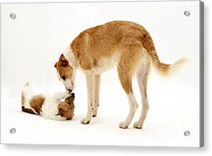 Lurcher And Jack Russell Terrier Acrylic Print by Jane Burton