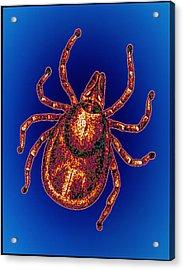 Lyme Disease Tick Acrylic Print by Pasieka