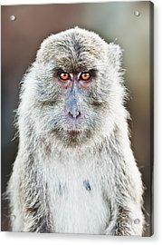 Macaque Portrait Acrylic Print by MotHaiBaPhoto Prints