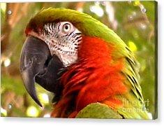 Macaw Alert Acrylic Print by John From CNY