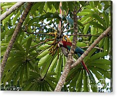 Macaw At Ease Acrylic Print