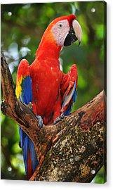 Macaw Of Copan Acrylic Print by Paul Bratescu