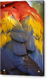 Macaw Parrot Plumes Acrylic Print