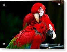 Macaws Acrylic Print by Paul Ge