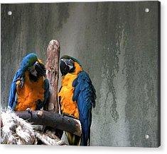 Maccaw Parrots Acrylic Print by Kim French