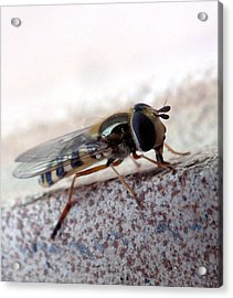 Macro Insect Acrylic Print by Ernestas Papinigis