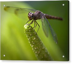 Macro Of A Dragonfly - Focus Stacked Image Acrylic Print