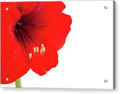 Macro Of Red Amaryllis With Copy Space Acrylic Print by Ursula Alter