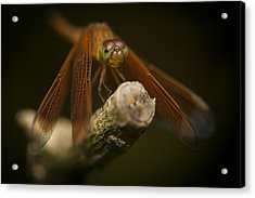 Macro Photograph Of A Dragonfly On A Twig Acrylic Print by Zoe Ferrie