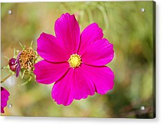 Magenta In Bloom Acrylic Print by Mary McAvoy
