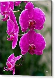 Magenta Orchid Medley Acrylic Print by Anna Rumiantseva