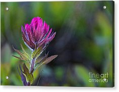 Magenta Paintbrush Acrylic Print by Sean Griffin