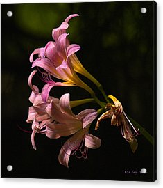 Magic Lily Appears Acrylic Print