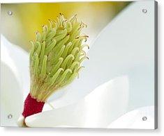 Magnificant Magnolia Macro  Acrylic Print by Sabrina L Ryan