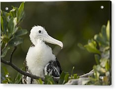 Magnificent Frigatebrid Chick Perched Acrylic Print by Tim Laman