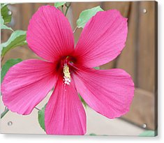 Acrylic Print featuring the photograph Magnificent Hibiscus by Elizabeth  Sullivan