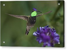 Magnificent Hummingbird Acrylic Print by Gregory Scott
