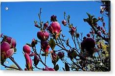 Magnolia Blloming Acrylic Print by Tanya  Searcy