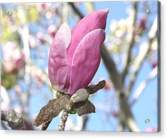 Acrylic Print featuring the photograph Magnolia Bud by Susan Alvaro