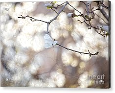 Magnolia Dream Acrylic Print by Susan Cole Kelly