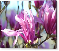 Magnolia Flowers Art Prints Pink Magnolia Tree Blossoms Acrylic Print by Baslee Troutman