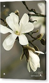 Magnolia Acrylic Print by Frank Townsley