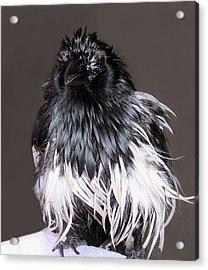 Magpie After A Bath Acrylic Print by Lynne Dymond