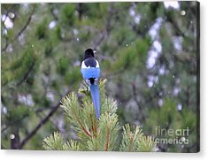Magpie In Snow Acrylic Print