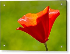 Mahogany California Poppy IIi Acrylic Print by Heidi Smith