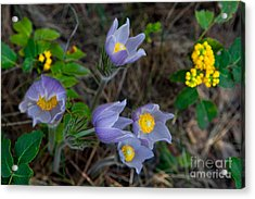 Mahonia And Pasqueflowers Acrylic Print