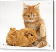 Maine Coon Kitten And Guinea Pig Acrylic Print