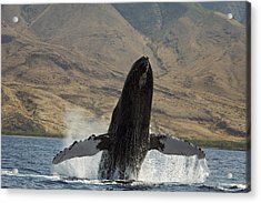 Majestic Breaching Whale Acrylic Print by Dave Fleetham