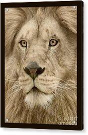 Majestic Lion Acrylic Print by Megan Wilson