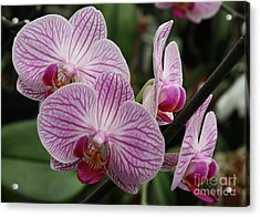 Majestic Orchids Acrylic Print by Carol Groenen