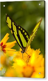 Malachite Butterfly On Flower Acrylic Print by Craig Tuttle