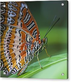 Malay Lacewing Butterfly Acrylic Print by Zoe Ferrie