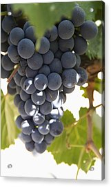 Malbec Grapes On The Vine Acrylic Print by Peter Langer