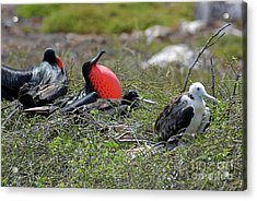 Male And Juvenile Great Frigate Bird Acrylic Print by Sami Sarkis