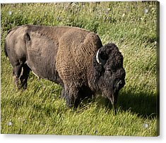 Male Bison Grazing  Acrylic Print by Paul Cannon