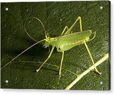 Male Bush Cricket Acrylic Print