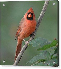 Male Cardinal Acrylic Print by Diane Giurco