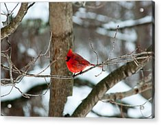 Male Cardinal In Winter Acrylic Print by Ron Smith