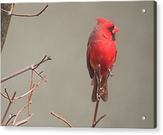 Acrylic Print featuring the photograph Male Cardinal On A Branch by Laurel Talabere