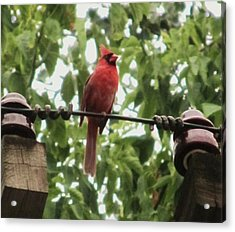 Male Cardinal One Acrylic Print by Todd Sherlock