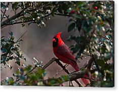 Male Cardinal Acrylic Print by Ron Smith